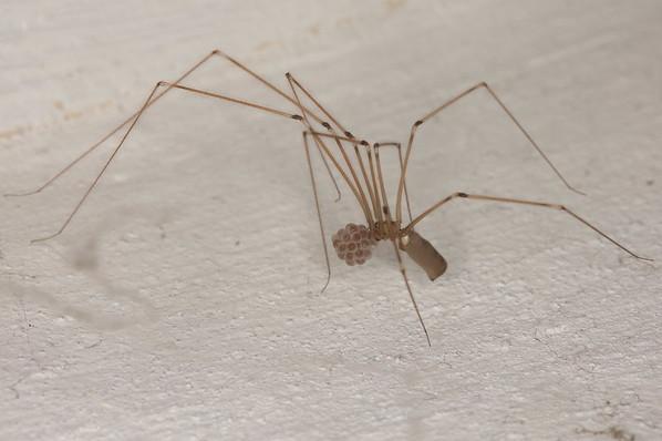 Aranha de pernas longas