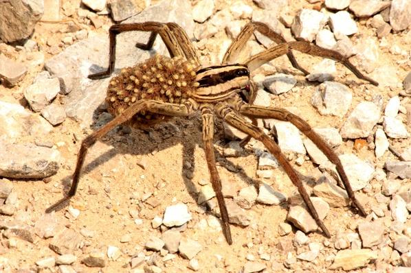Aranha de jardim. Coloração amarronzada, aspecto peludo, com desenho no dorso semelhante a uma seta e carregando centenas de filhotes no dorso, mais uma característica dessa espécie.