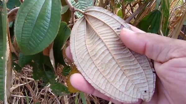 Planta Miconia albicans - Chá de Canela de Velho