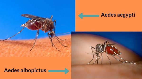 Mosquitos Aedes aegypti e Aedes albopictus transmissores do chikungunya
