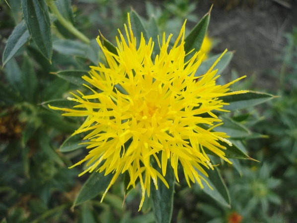 Cártamo (planta)