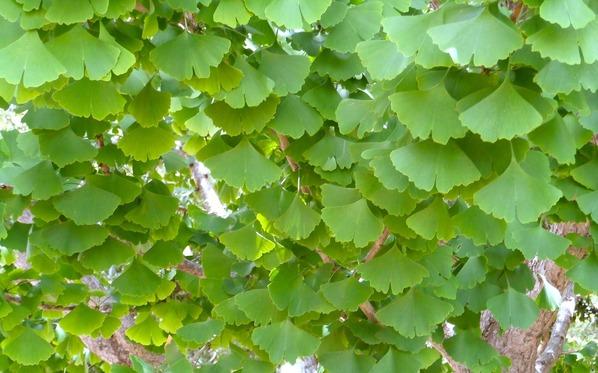 Folhas de Ginko Biloba