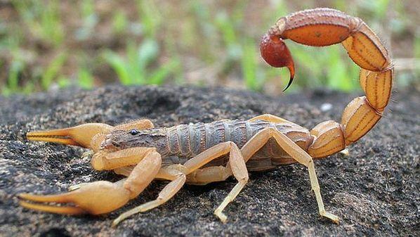 Picada de escorpião: primeiros socorros